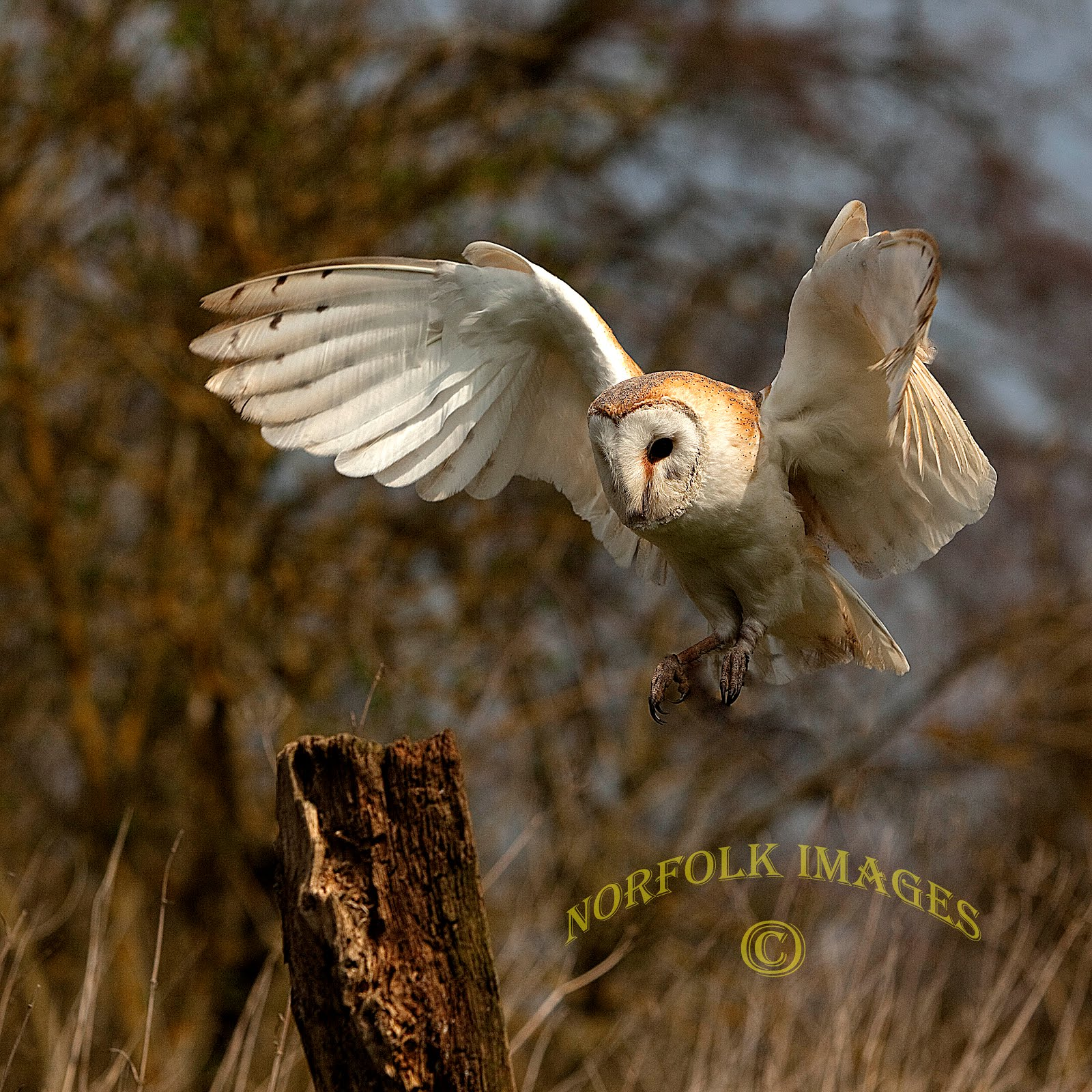 Norfolk Images Gallery: BARN OWLS