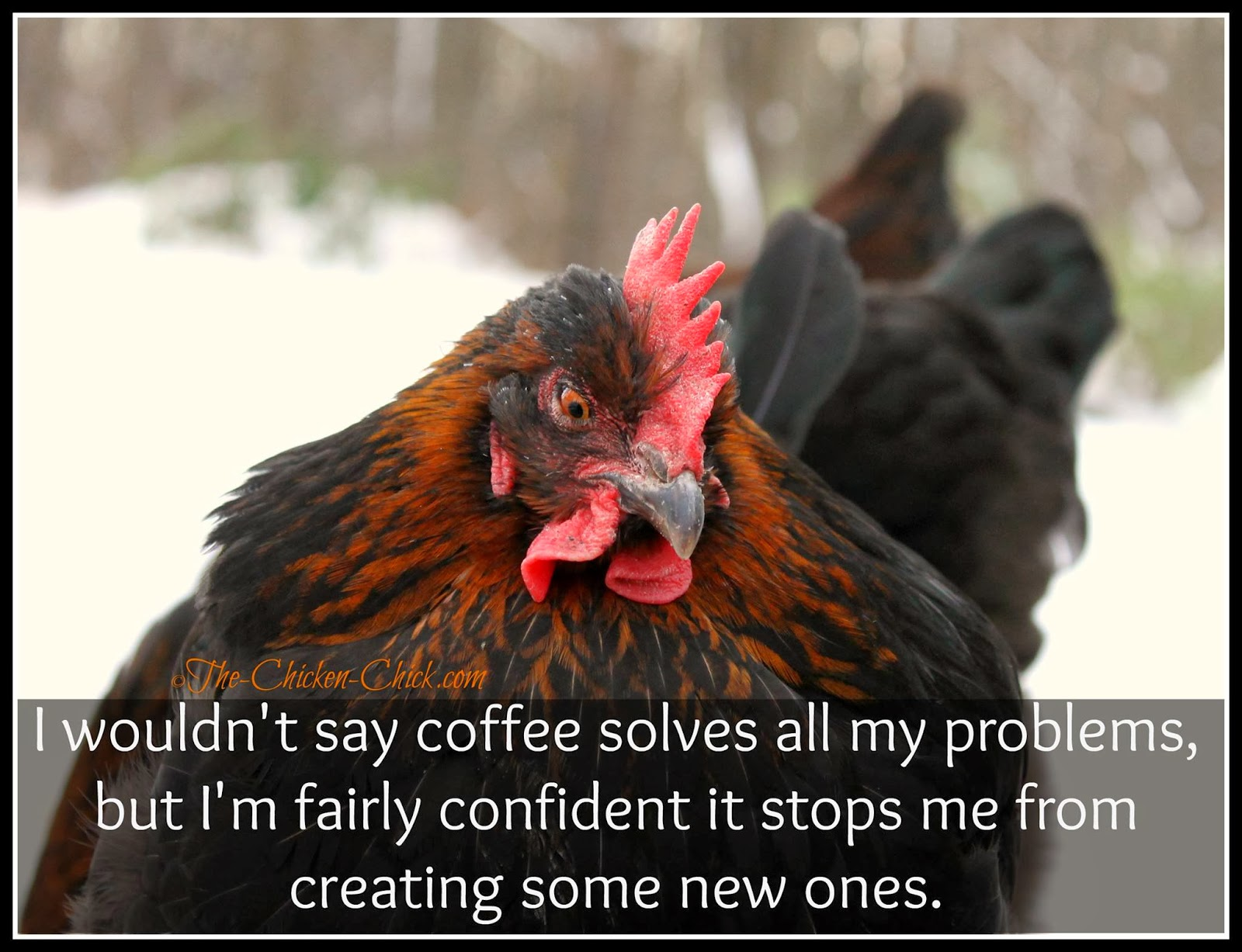 Funny Quotes About Chickens: Flock Focus Friday, 12/20/13