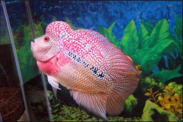 Budidaya Ikan Hias Louhan
