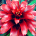 Cara Budidaya Tanaman Bromelia, Jenis Dan Klasifikasi