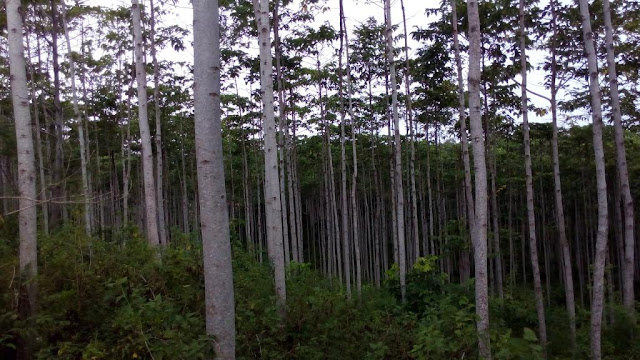 Kebun Jabon Kawasan Hutan Rakyat Gampong Cot Baroh