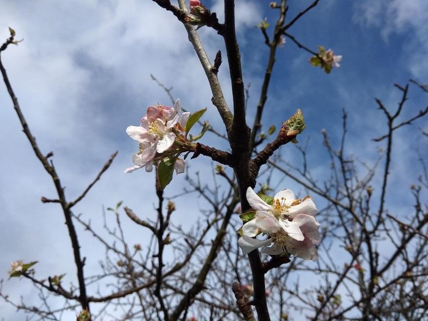 flor-manzano