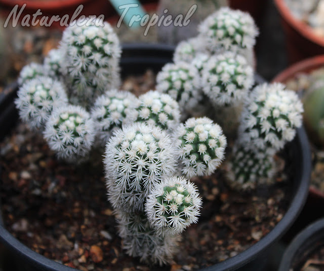 Vista del cactus Mammillaria vetula gracilis cv. Arizona Snowcap
