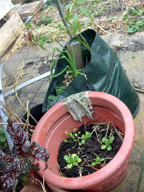 Photo of plant pots on an untidy patio, the nearest growing chicory, another growing spring onions