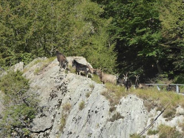 capre apuane lungo la strada verso la cava delle cervaiole