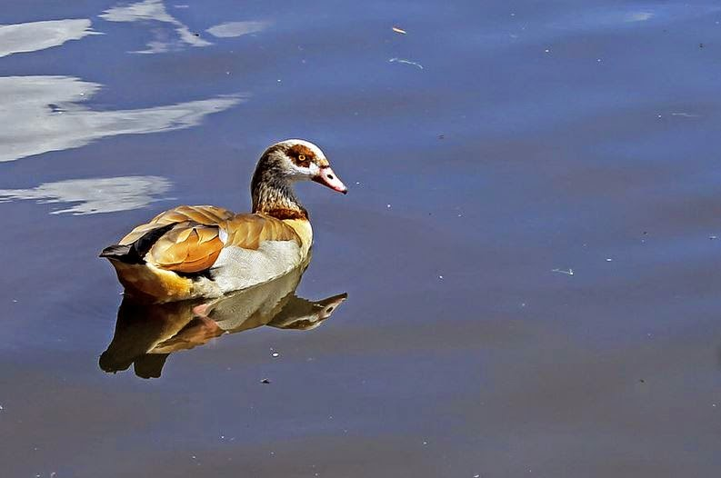 Buy wallart of Egyptian Goose