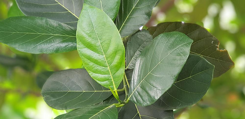 ใบของต้นขนุน