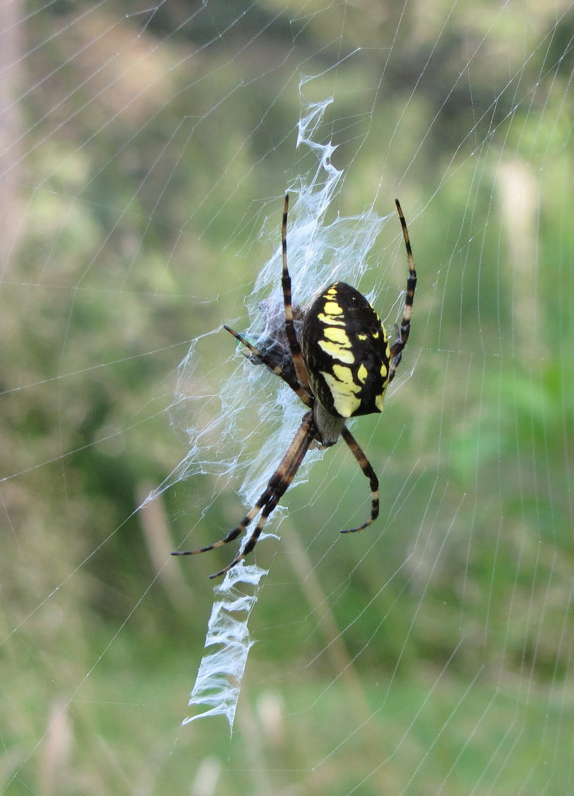Are yellow garden orb weaver spiders poisonous fasci garden for Yellow garden spider poisonous