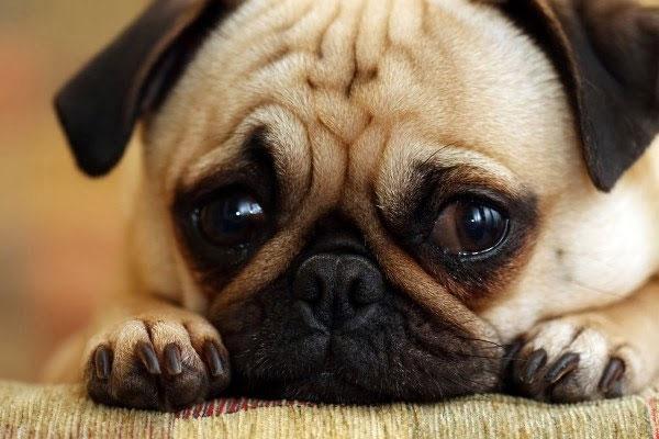 cachorro com cara de triste