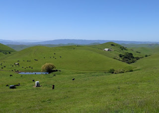 View to the west of green hills and grazing cattle from the lower portion of Morgan Territory Road, Livermore, California