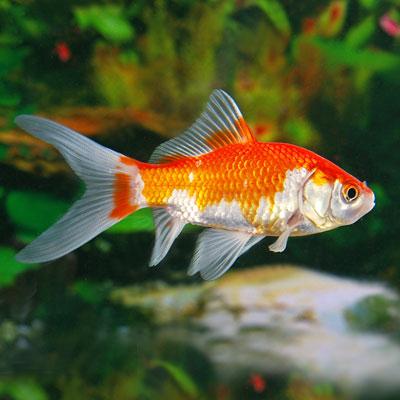 Goldfish   FishandAqua