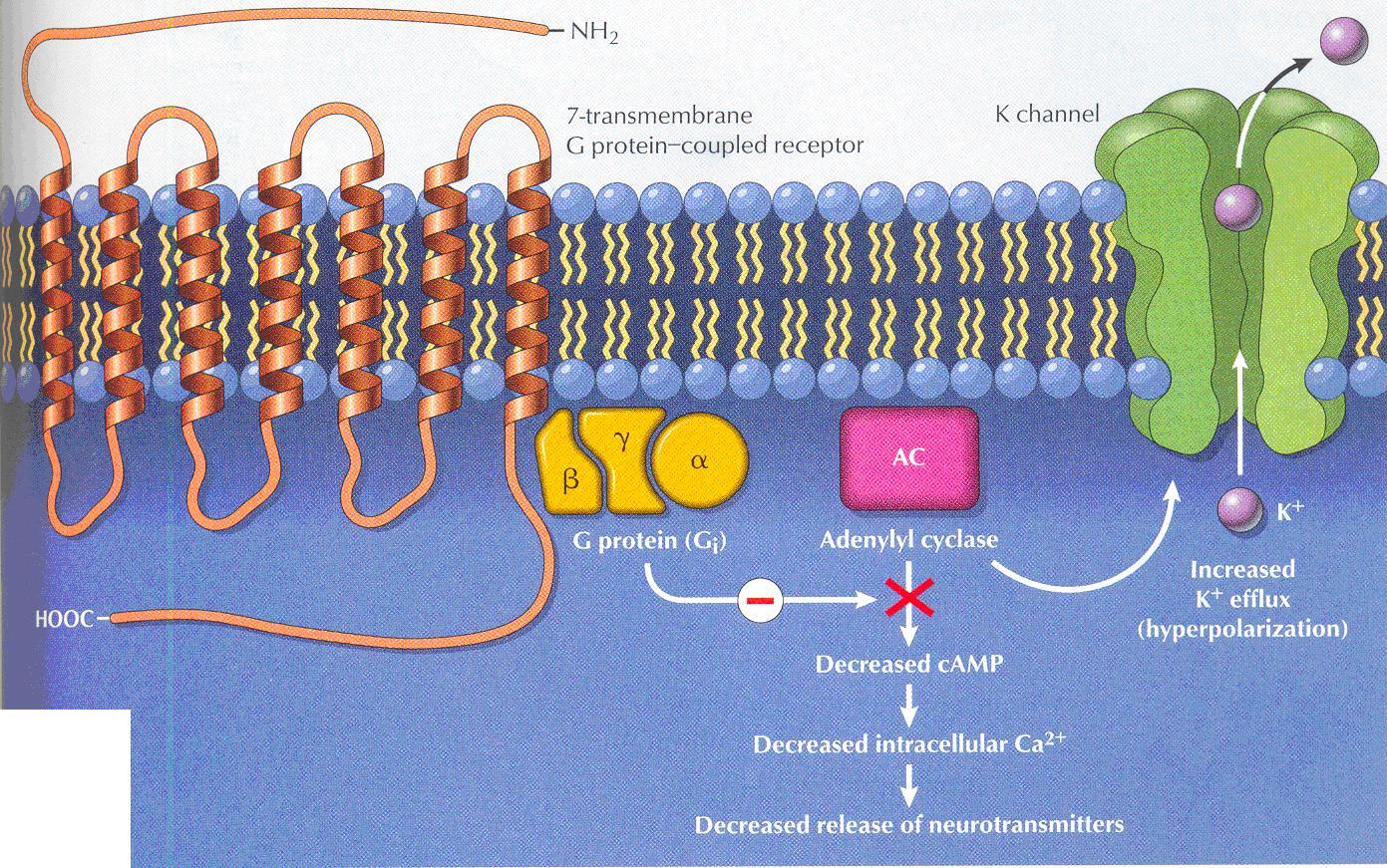 Tramadol opioid receptors ~ Tramadol A Treat