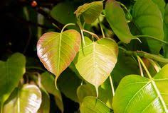 young-pipal-leaves