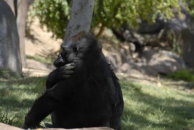 Gorilla photo: LadyD Books