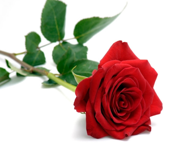 bunga mawar merah setangkai