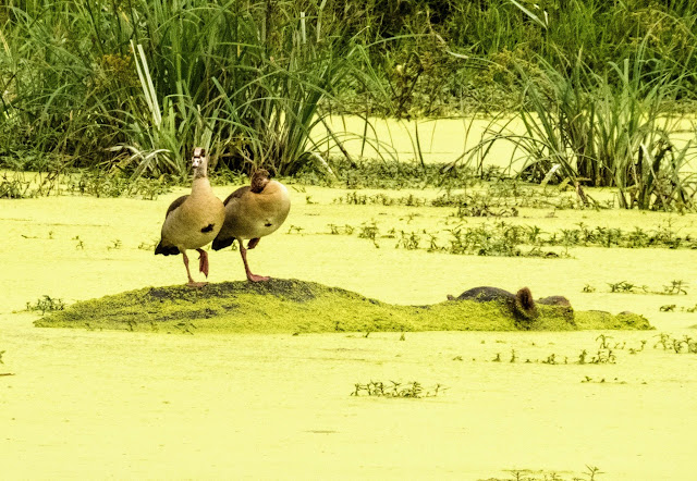 Egyptian geese on a hippo in Uganda