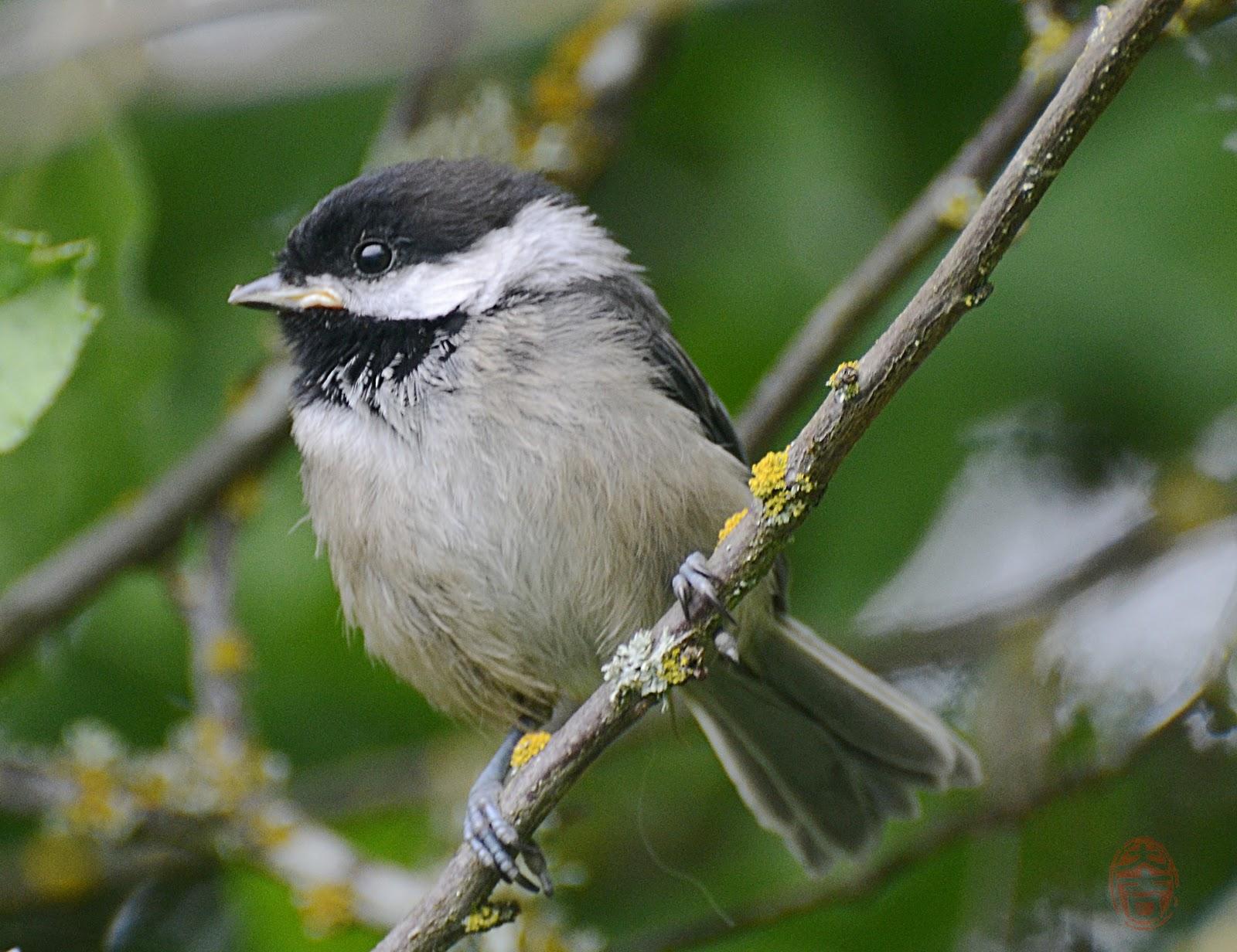 Oregon Backyard Birds, etc.: Chickadees, Black-capped and ...