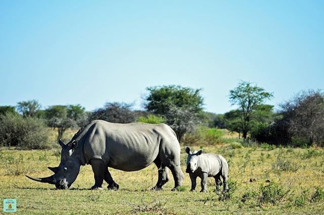 Rinocerontes en Khama Rhino Sanctuary, Botswana