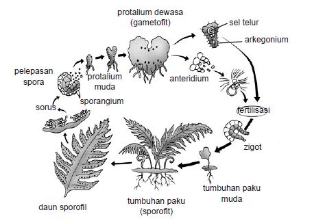 Metagenesis, pengertian metagenesis, metagenesis lumut, skema metagenesis lumut, reproduksi genertatif, reproduksi vegetatif, metagenesis tumbuhan paku.