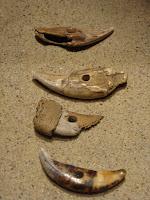 amulety - ząb niedźwiedzia (Ujście), kły dzików (Ląd oraz dwa z Gniezna)