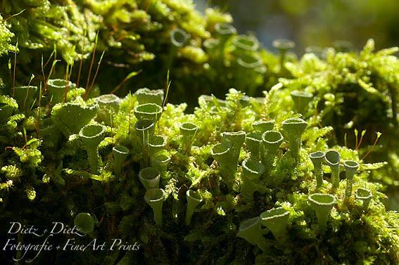 Trompetenflechten (Cladonia fimbriata)