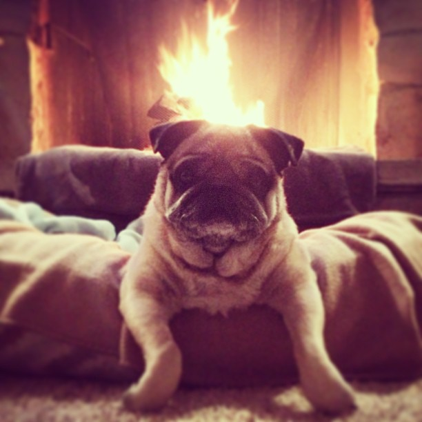 pug in front of the fireplace