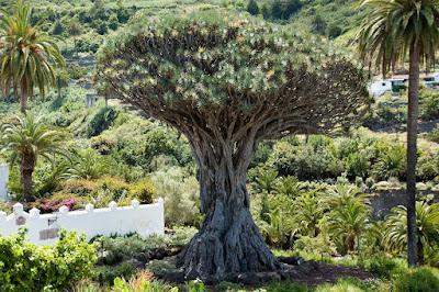 Hespérides | El drago, sangre de dragones en Canarias I