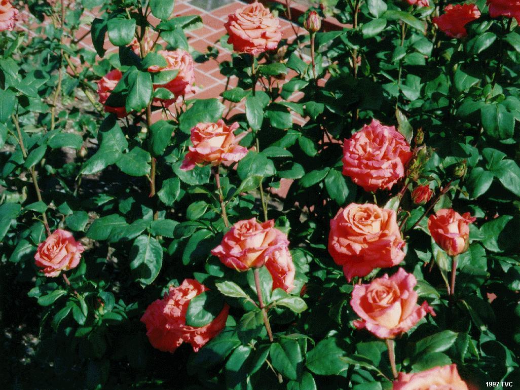 Wallpaper Desk  Rose garden wallpaper rose