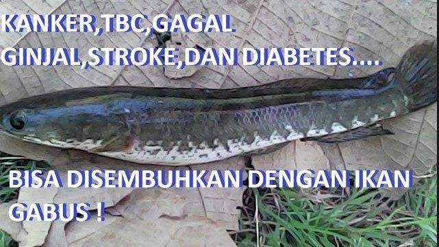 Cara Memasak Ikan Gabus Kutuk Untuk Obat Kanker Stroke Ginjal Tuberkolusis