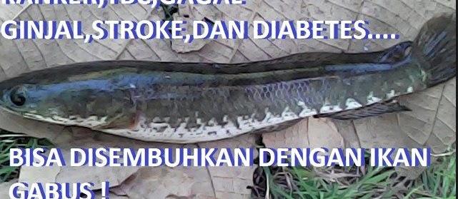 Cara Memasak Ikan Gabus (Kutuk) Untuk Obat  Kanker, Stroke, Ginjal, & Tuberkolusis