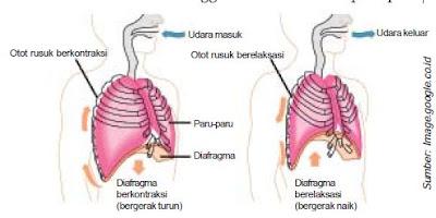 Macam-Macam Pernapasan serta Mekanisme Pernapasan Dada dan Perut Dalam Sistem Respirasi Pada Manusia