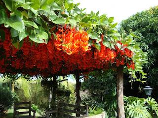 Jade vermelha (Mucuna bennettii)