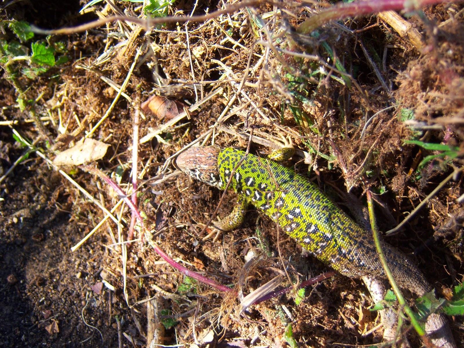 Fauna auxiliar: hermoso lagarto que vive en uno de nuestros huertos.