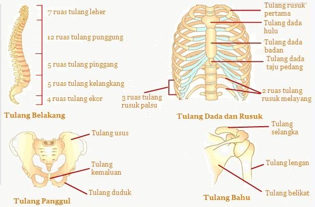 Materi Sistem Gerak pada Manusia (Rangka, Tulang, Otot dan ...
