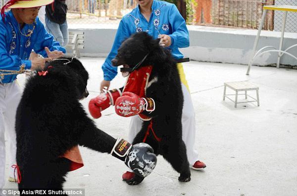 Những võ sĩ gấu đấm nhau như thật trên sàn đấu quyền anh biến tướng