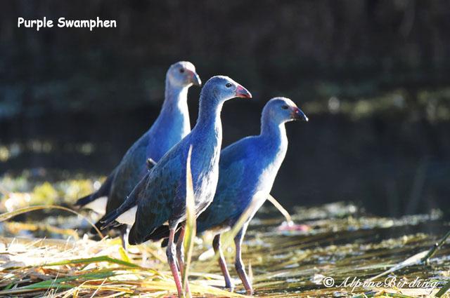 Qinghai Birding Tour