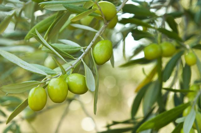 Manfaat Buah Olive untuk Kesehatan