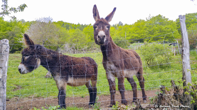Anis y Oregon, nuestros burros de Cévennes - Florac, Lozère (Francia) por El Guisante Verde Project