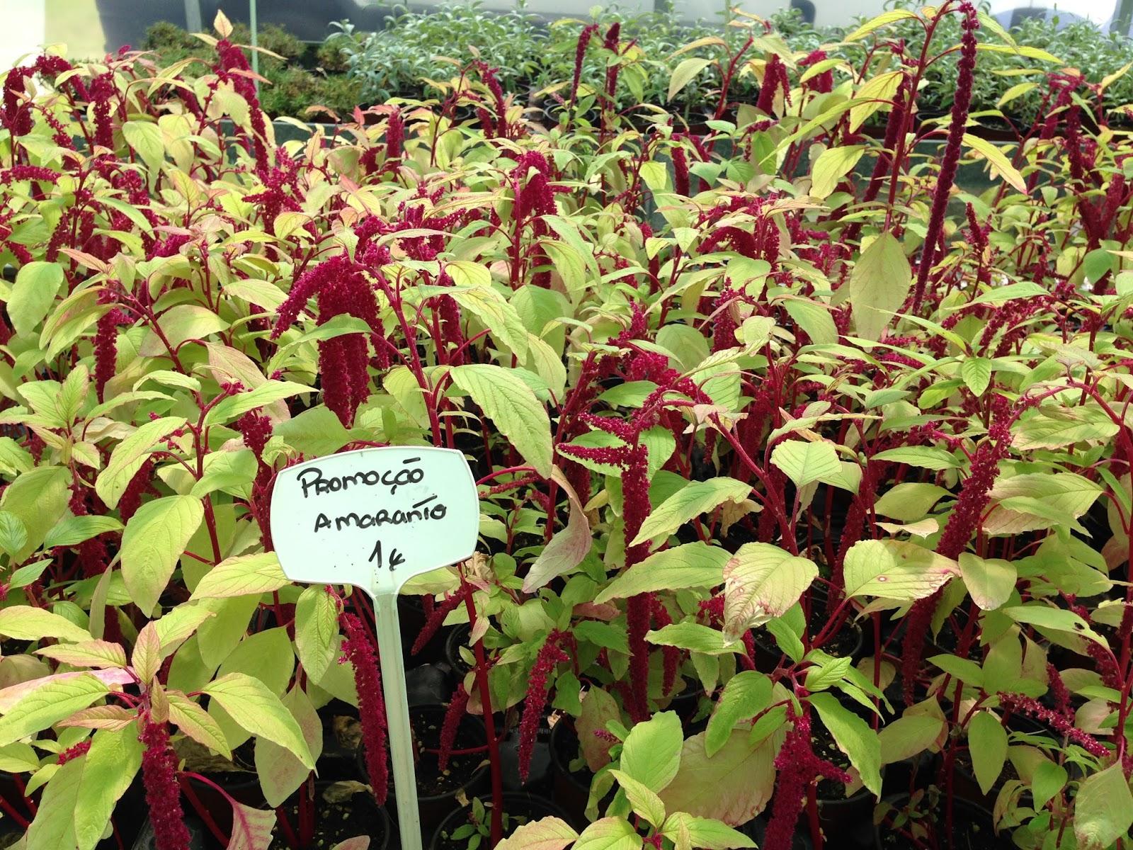 http://www.cantinhodasaromaticas.pt/loja/plantas-em-vaso-bio/amaranto-amaranthus-caudatus/