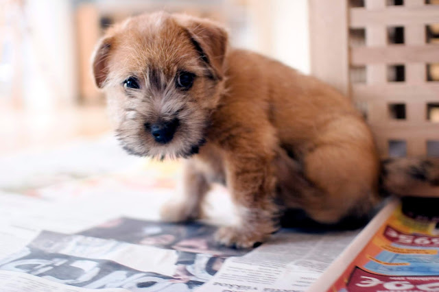 Norfolk terrier puppy being house broken