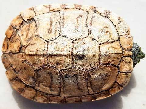 Kura-kura Brazil dewasa