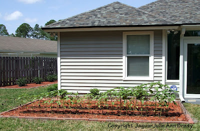 Sunflower Plants Prospering in the Ground April 28, 2013