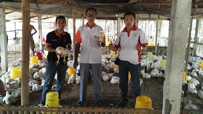 cara ternak ayam potong 30 hari panen