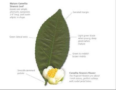 Η ανατομία του φύλλου του τσαγιού.