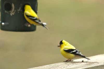 male gold finches