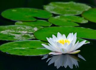 Gambar Bunga Teratai Cantik 2