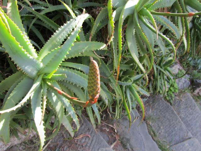 Infiorescenza Immatura Aloe arborescens