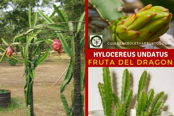 Hylocereus, undatus, fruta del dragón o pitaya o pitahaya en guias de Arboles y arbustos.com