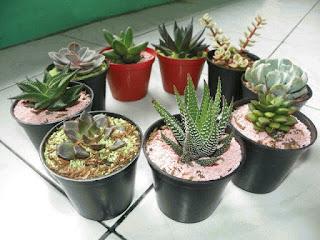 jual souvenir tanaman hias kaktus mini