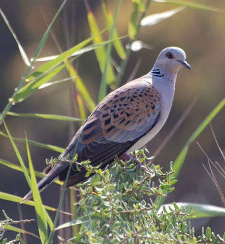 Photo of European turtle dove (Streptopelia turtur)